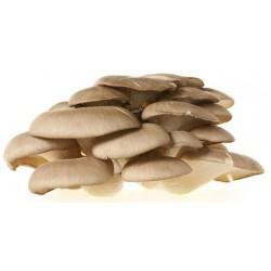 Funghi pleurotus gr.1000
